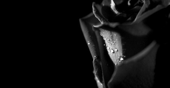 Rose-beautiful-black-and-white-flower-gothic-rain-drops-rose-560x290.jpg.pagespeed.ce.AKeC4wyP-c